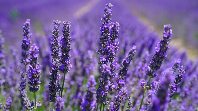 lavender-good-sleep
