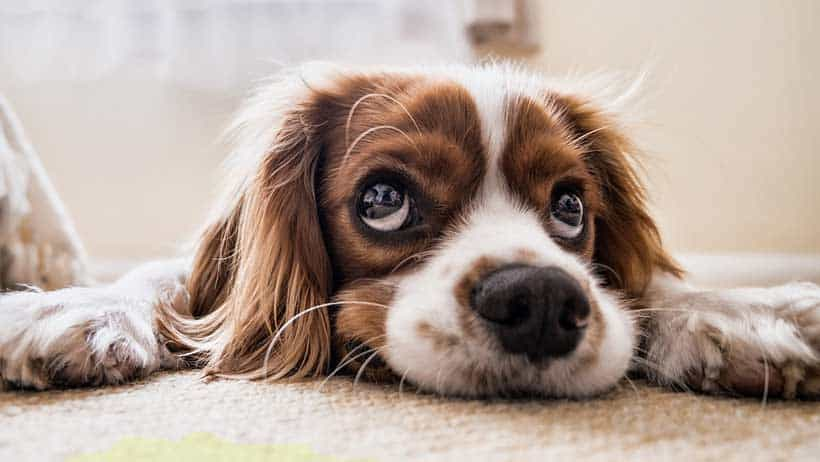 dog-pee-carpet